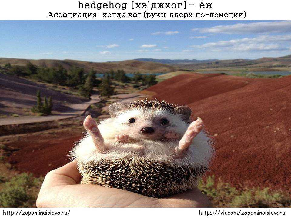 запоминать слова hedgehog